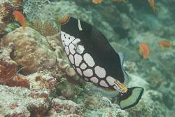 BD-150423-Maldives-7852-Balistoides-conspicillum-(Bloch---Schneider.-1801)-[Clown-triggerfish.-Leopardtryckarfisk].jpg